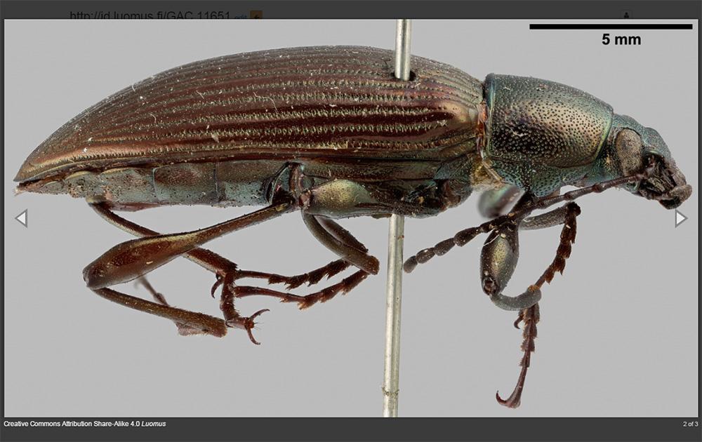 kotka-beetle